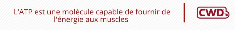 L'ATP est une molécule capable de fournir de l'énergie aux muscles.