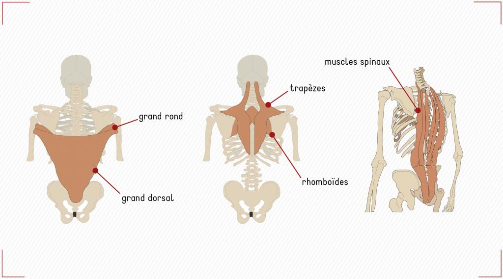 muscles du dos pratique sportive équitation